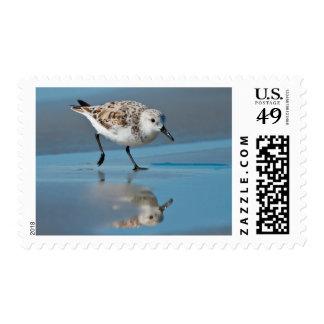 Sanderling Calidris Albe Feeding On Wet Beach Stamps
