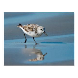 Sanderling Calidris Albe Feeding On Wet Beach Postcard