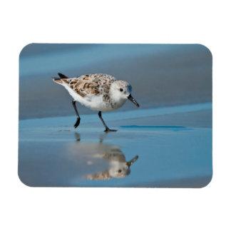 Sanderling Calidris Albe Feeding On Wet Beach Magnet