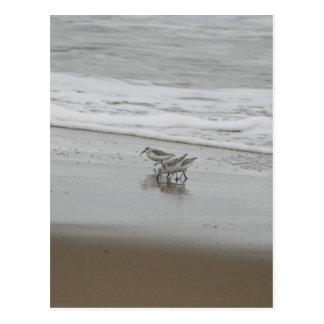 Sanderlings at Horsfall Beach, Oregon Postcard