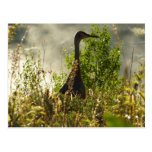 Sandhill Crane at Moose Ponds in Grand Teton Postcard