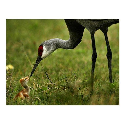 Sandhill Crane & Baby postcard