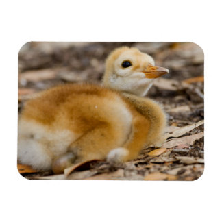 Sandhill Crane Chick Magnets