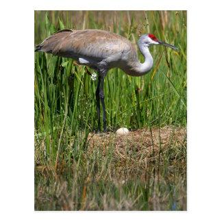 Sandhill Crane & Egg postcard