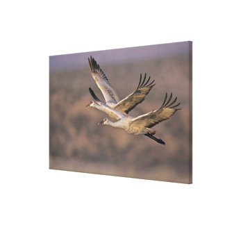 Sandhill Crane, Grus canadensis, adult and Canvas Print