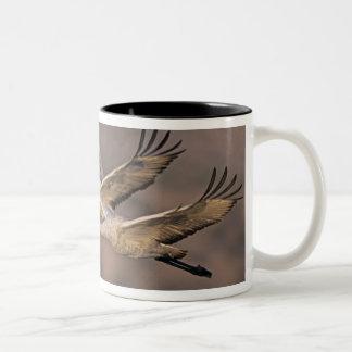 Sandhill Crane, Grus canadensis, adult and Mugs