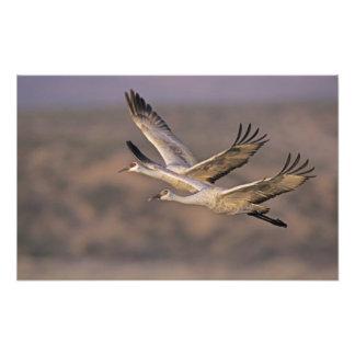 Sandhill Crane, Grus canadensis, adult and Photo Print