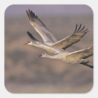 Sandhill Crane, Grus canadensis, adult and Square Sticker