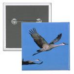 Sandhill Crane Grus canadensis) in flight. Pinback Buttons