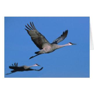 Sandhill Crane Grus canadensis) in flight. Greeting Card