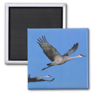 Sandhill Crane Grus canadensis) in flight. Fridge Magnets