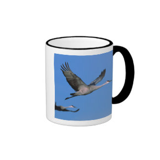 Sandhill Crane Grus canadensis) in flight. Mug