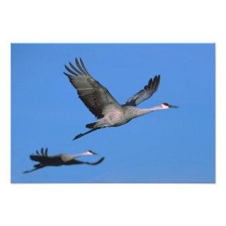 Sandhill Crane Grus canadensis) in flight. Photo Print