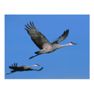 Sandhill Crane Grus canadensis) in flight. Postcard