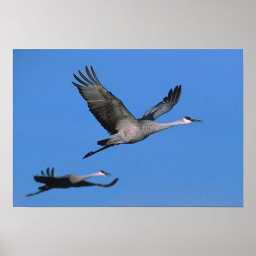 Sandhill Crane Grus canadensis) in flight. Poster