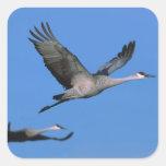 Sandhill Crane Grus canadensis) in flight. Square Sticker