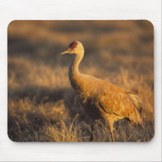 sandhill crane, Grus canadensis, in the 1002 2 Mouse Pad
