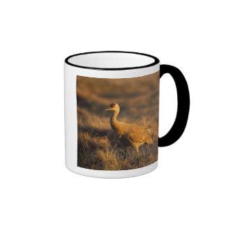 sandhill crane, Grus canadensis, in the 1002 2 Mugs