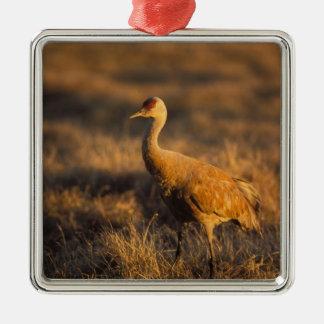 sandhill crane, Grus canadensis, in the 1002 2 Square Metal Christmas Ornament