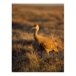 sandhill crane, Grus canadensis, in the 1002 2 Postcard