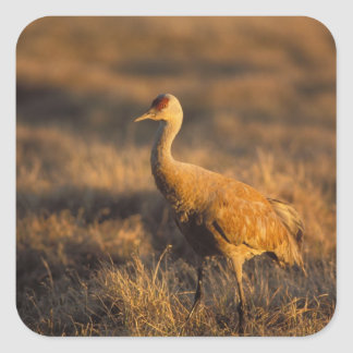 sandhill crane, Grus canadensis, in the 1002 2 Square Sticker