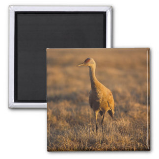 sandhill crane, Grus canadensis, in the 1002 Magnet