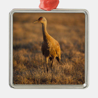 sandhill crane, Grus canadensis, in the 1002 Square Metal Christmas Ornament