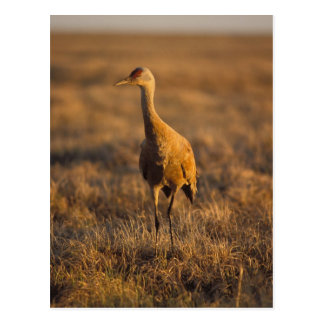 sandhill crane, Grus canadensis, in the 1002 Postcard