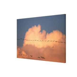 Sandhill Crane Grus canadensis) in twilight Canvas Print