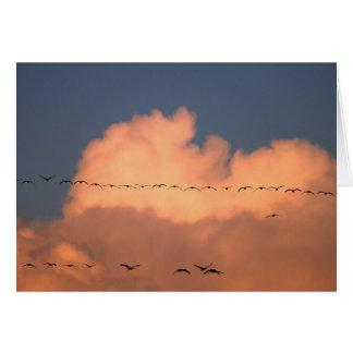 Sandhill Crane Grus canadensis) in twilight Greeting Cards