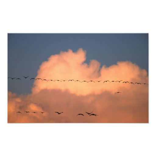 Sandhill Crane Grus canadensis) in twilight Photo Print
