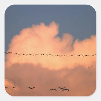 Sandhill Crane Grus canadensis) in twilight Square Sticker