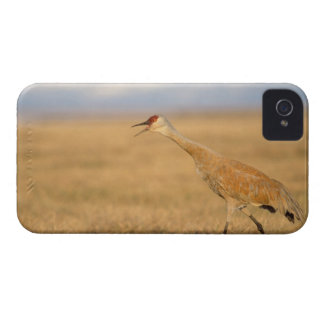 sandhill crane, Grus canadensis, walking in the iPhone 4 Cover