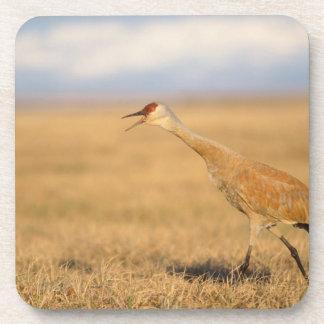 sandhill crane, Grus canadensis, walking in the Drink Coaster
