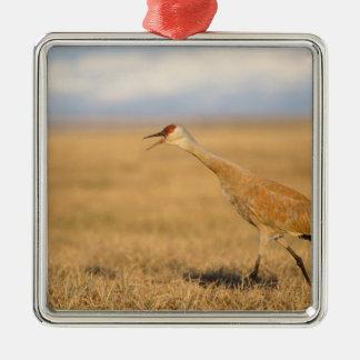 sandhill crane, Grus canadensis, walking in the Square Metal Christmas Ornament