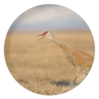 sandhill crane Grus canadensis walking in the Plate