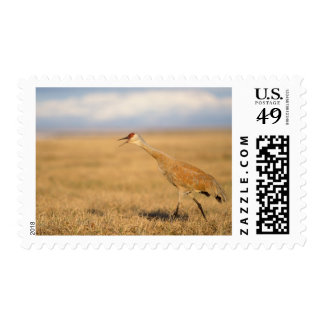sandhill crane, Grus canadensis, walking in the Postage