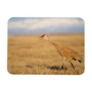 sandhill crane, Grus canadensis, walking in the Flexible Magnet