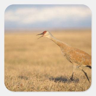 sandhill crane, Grus canadensis, walking in the Square Sticker