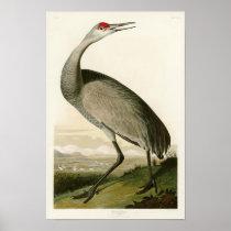 Sandhill Crane John James Audubon Birds of America Poster