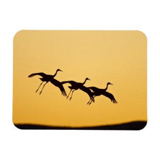 Sandhill Crane landing at sunset Magnet
