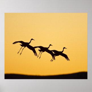 Sandhill Crane landing at sunset Poster
