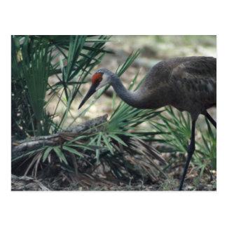 Sandhill Crane Postcards