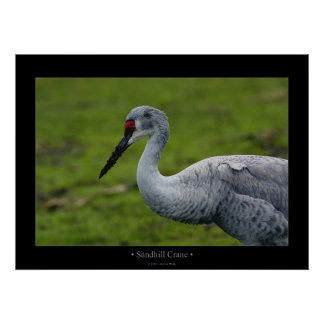 Sandhill Crane Posters