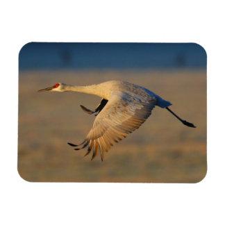sandhill crane rectangular magnet