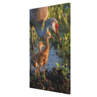 Sandhill crane with chicks, Florida Canvas Print
