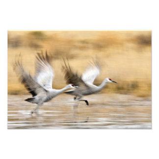 Sandhill Cranes a adultos del canadensis del Grus) Arte Fotografico