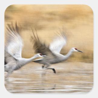 Sandhill Cranes a adultos del canadensis del Grus) Pegatinas Cuadradas