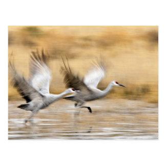 Sandhill Cranes a adultos del canadensis del Grus) Postal