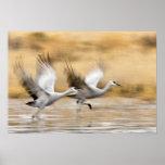Sandhill Cranes a adultos del canadensis del Grus) Póster